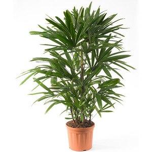 Lady-Palm-450w